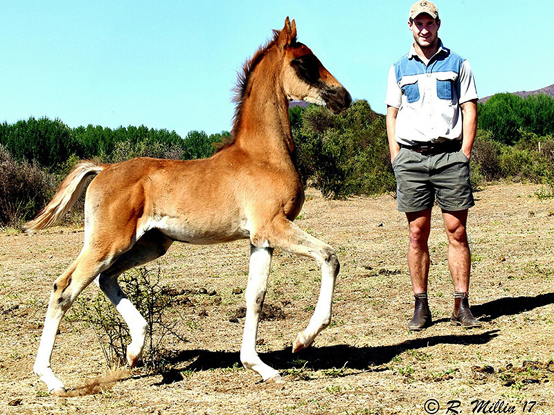 Large johan goosen with horses4 800